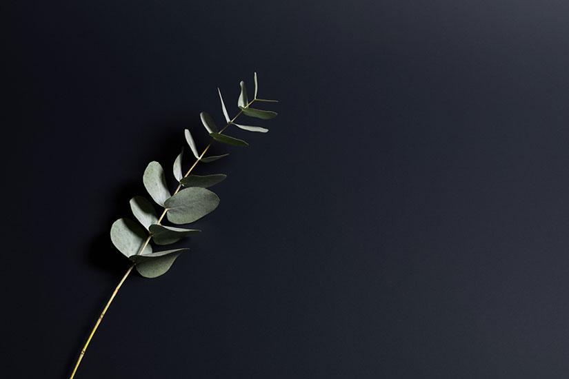 Winter eucalyptus 825x550